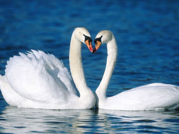 Swans heart love dating website